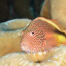 Black-backed Hawkfish - Paracirrhites forsteri by Andrew Trevor-Jones