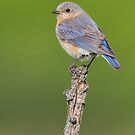 Female Eastern Bluebird. by Daniel Cadieux