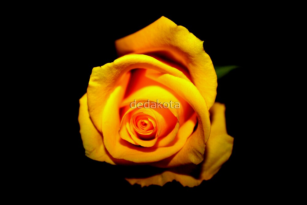 """yellow rose-black background"" by dedakota 