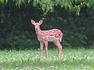 First Fawn Of The Year by Ginny York