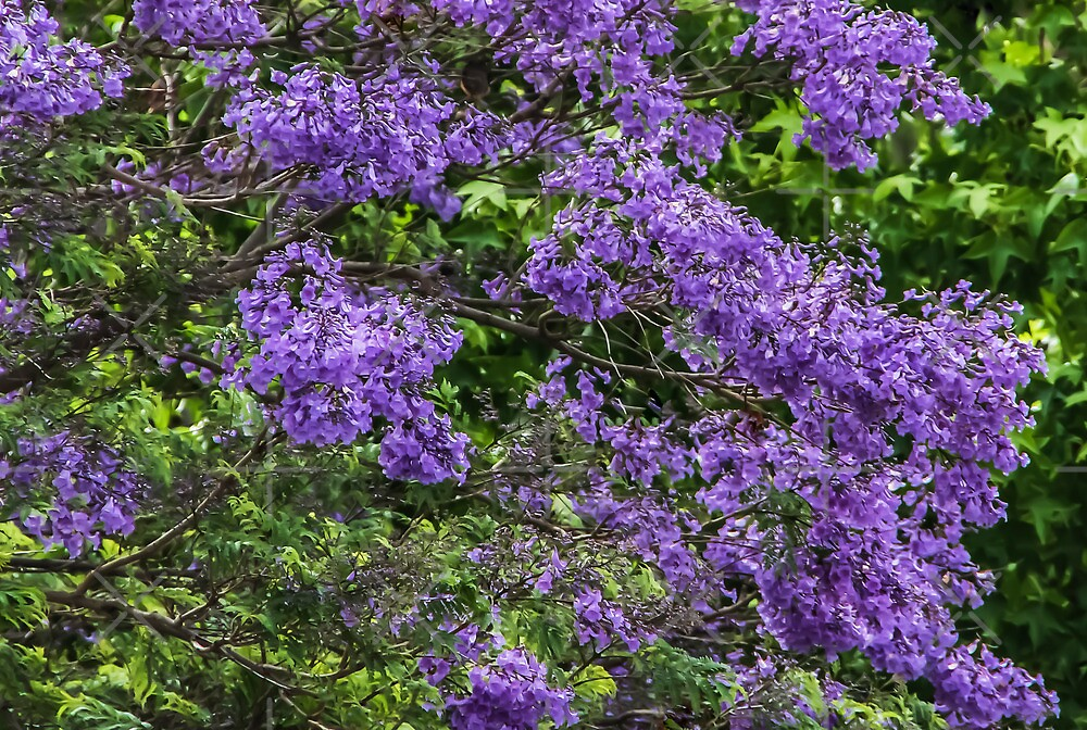 Jacaranda by Heather Friedman