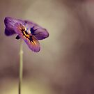 pansy by Ingrid Beddoes
