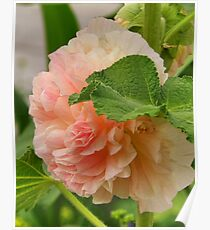 Peach Hollyhock Poster