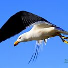 The Pacific Gull by robmac