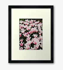 White and Pink Tulips (Tulipa) Framed Print