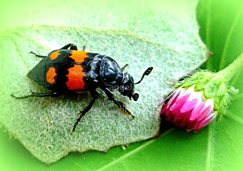 Silphidae ~ Aaskäfer ~ Totengräber by ©The Creative  Minds