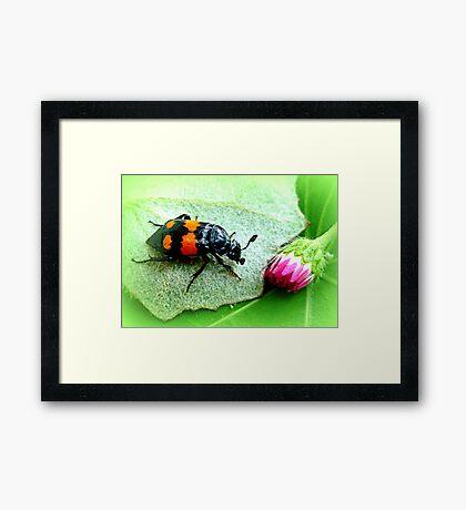 Silphidae ~ Aaskäfer ~ Totengräber Framed Print