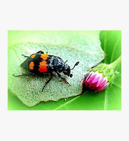 Silphidae ~ Aaskäfer ~ Totengräber Photographic Print