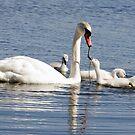 Swan Family by cherylc1