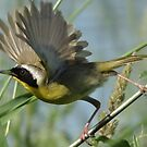 Common Yellow Throat by swaby