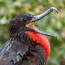 Male Magnificent Frigatebird from Ecuador by Paul Wolf