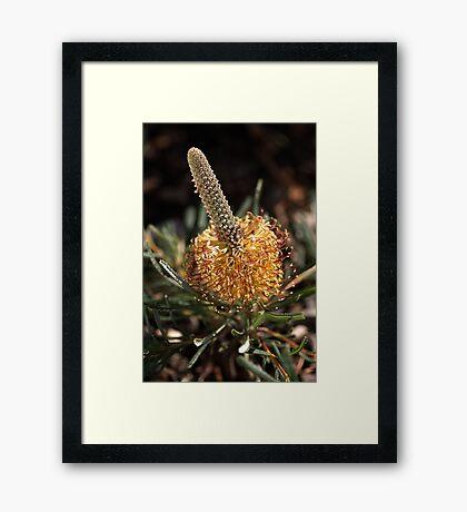 Banksia Flower Framed Print