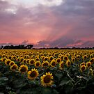 Sunflowers at Sunset by Lisa Holmgreen Porier