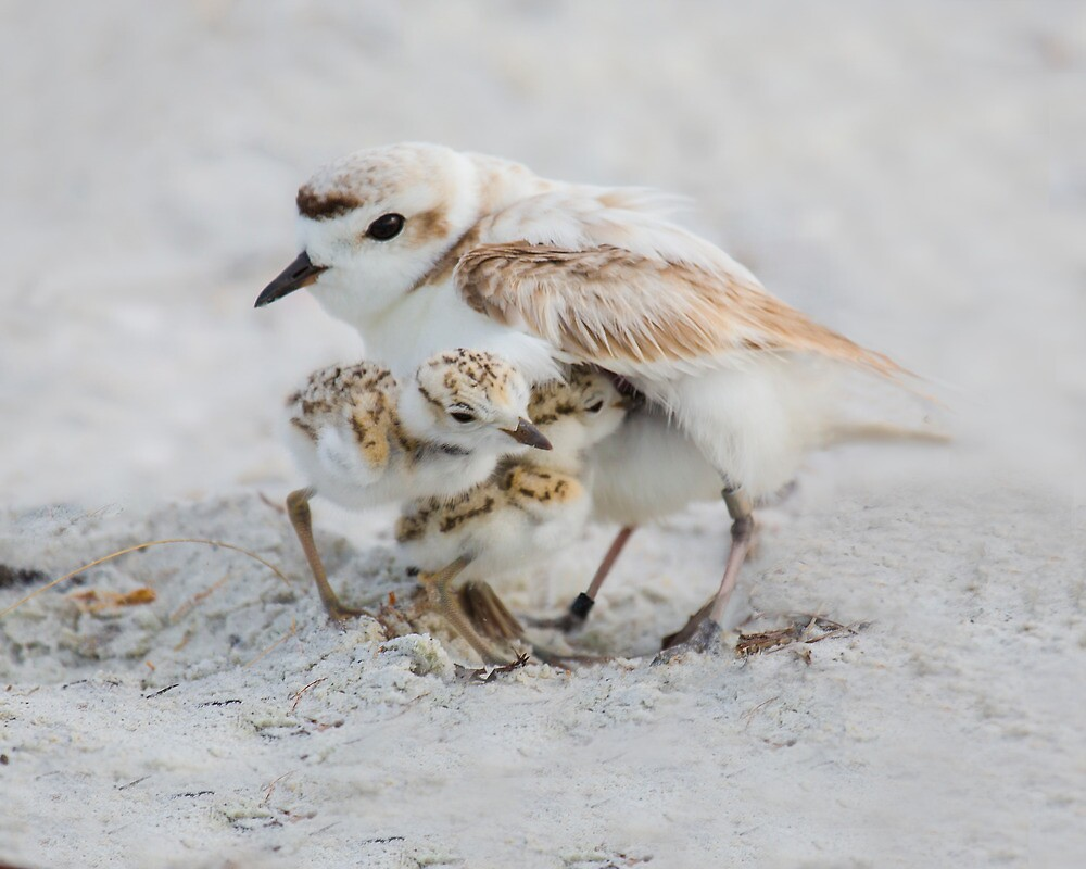 Snowy Plover with Chicks by noffi