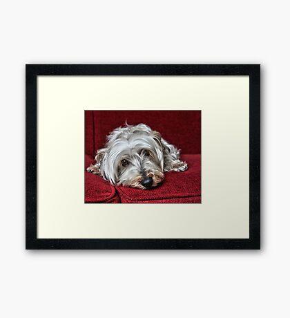 Pepper the Silky Terrier Framed Print