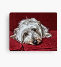 Pepper the Silky Terrier Canvas Print