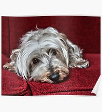 Pepper the Silky Terrier Poster