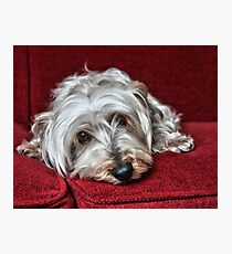 Pepper the Silky Terrier Photographic Print
