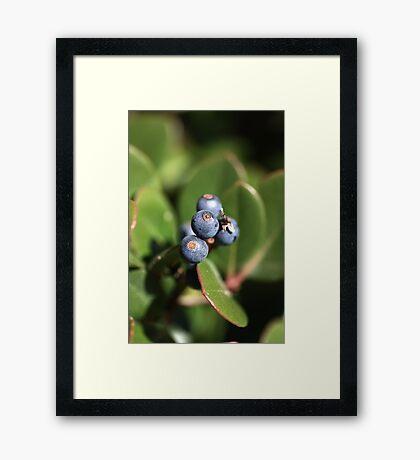Berries of Blue Framed Print