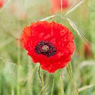 Poppy by Stuart  Gennery