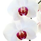Orchid by Brian Haslam