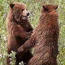 Sibling Rivalry - 2 young grizz by Marty Samis