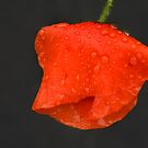 Red poppy raindrops by steppeland