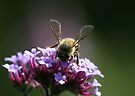 Busy Bee by Dave Davis