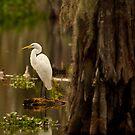 Great Egret on Lake Martin, Breaux Bridge, Louisiana by Paul Wolf