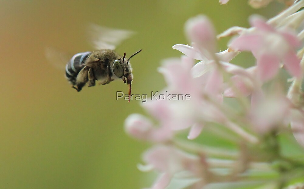 Blue-banded bee by Parag Kokane