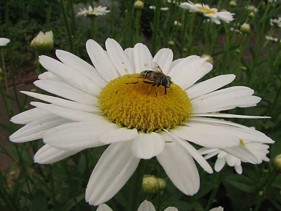 Bee and the Daisy by PicsbyJody