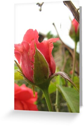 The New RoseBud by PicsbyJody