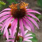 Coneflower and Butterfly by ColdNorth