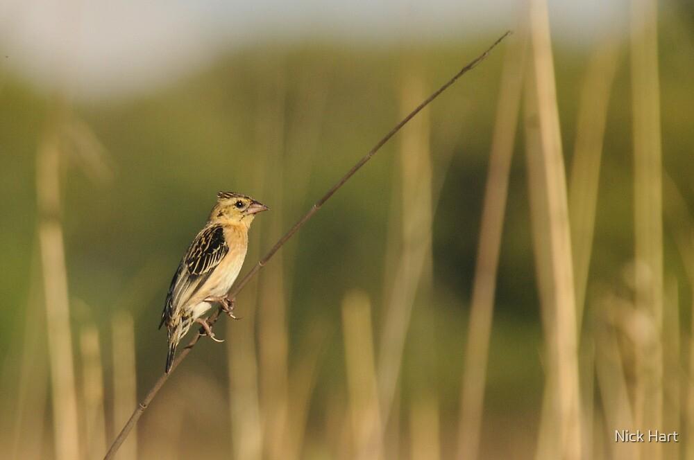 Red-collared Widowbird by Nicholas Hart
