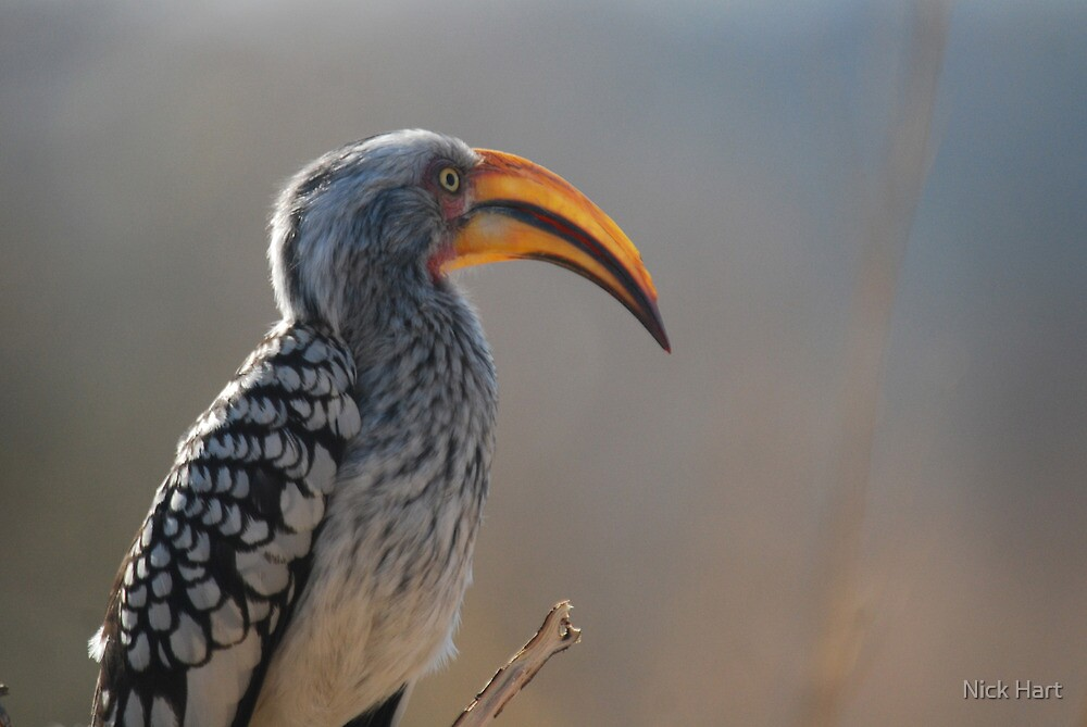 Southern Yellow-billed Hornbill by Nicholas Hart