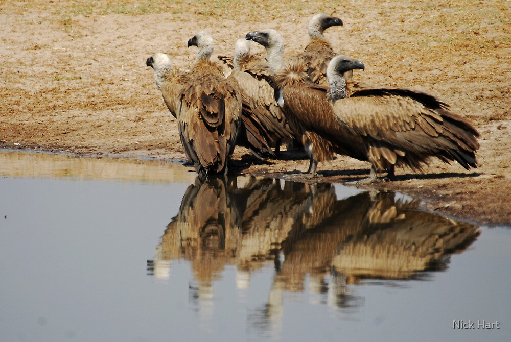 White-backed Vulture by Nicholas Hart