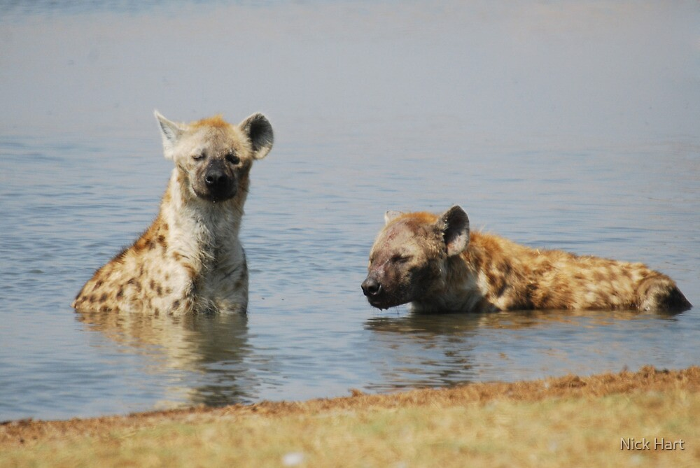 Spotted Hyaena by Nicholas Hart