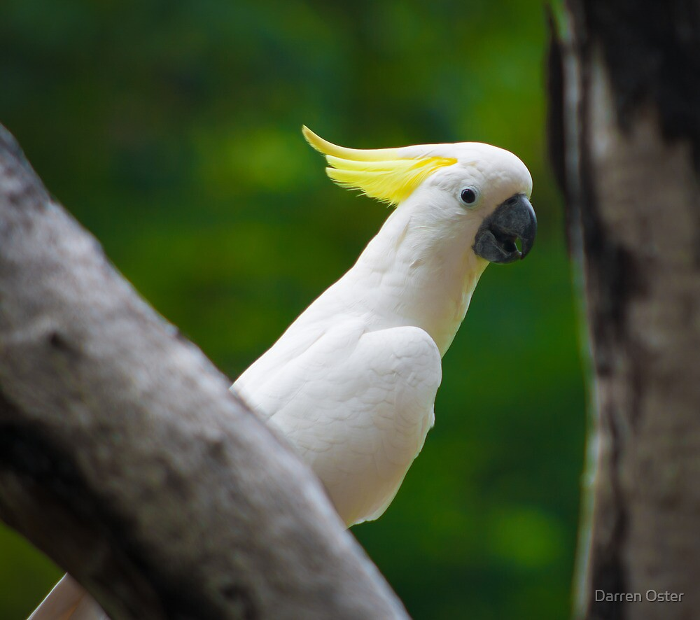 Sulphur Crested Cockatoo by Darren Oster