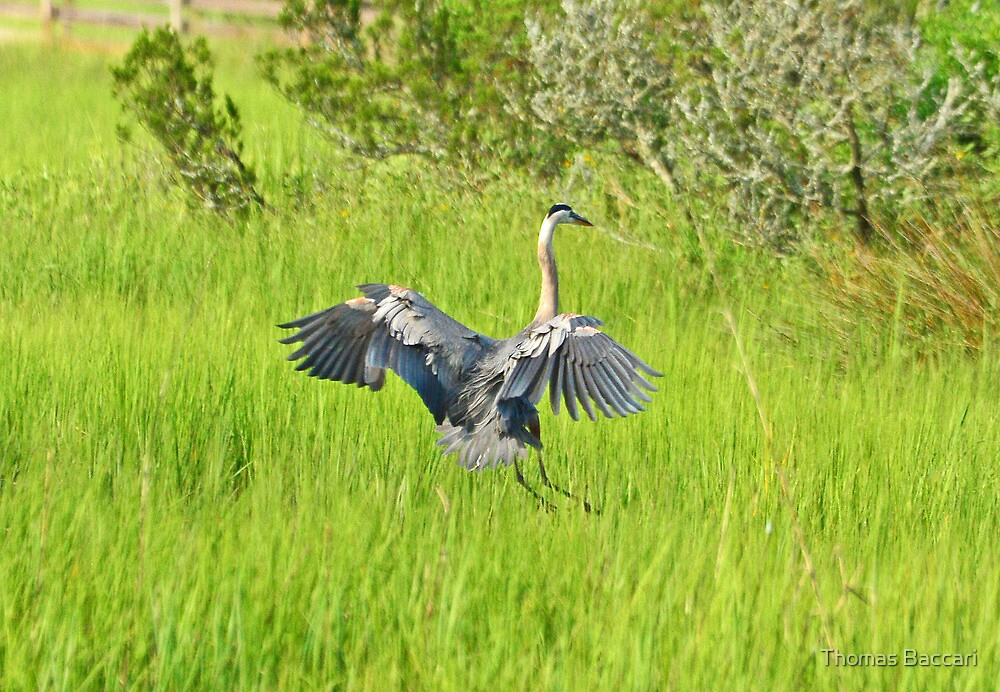 GBH LANDING IN THE TALL GRASS by TJ Baccari Photography