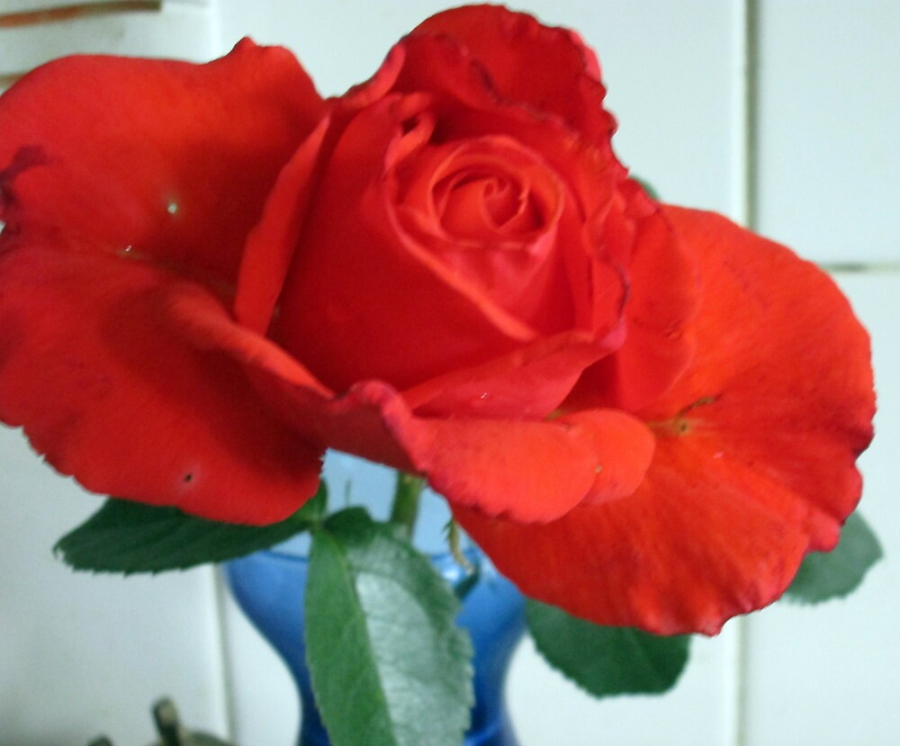 I just love the colour of this rose by margaret hanks