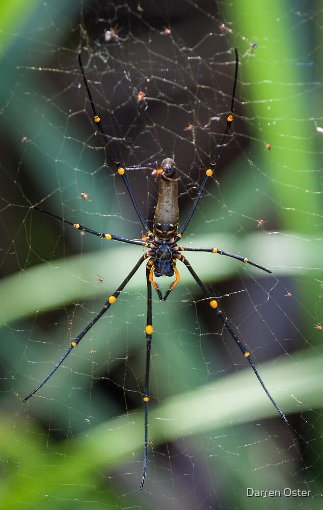 Orb Spider by Darren Oster