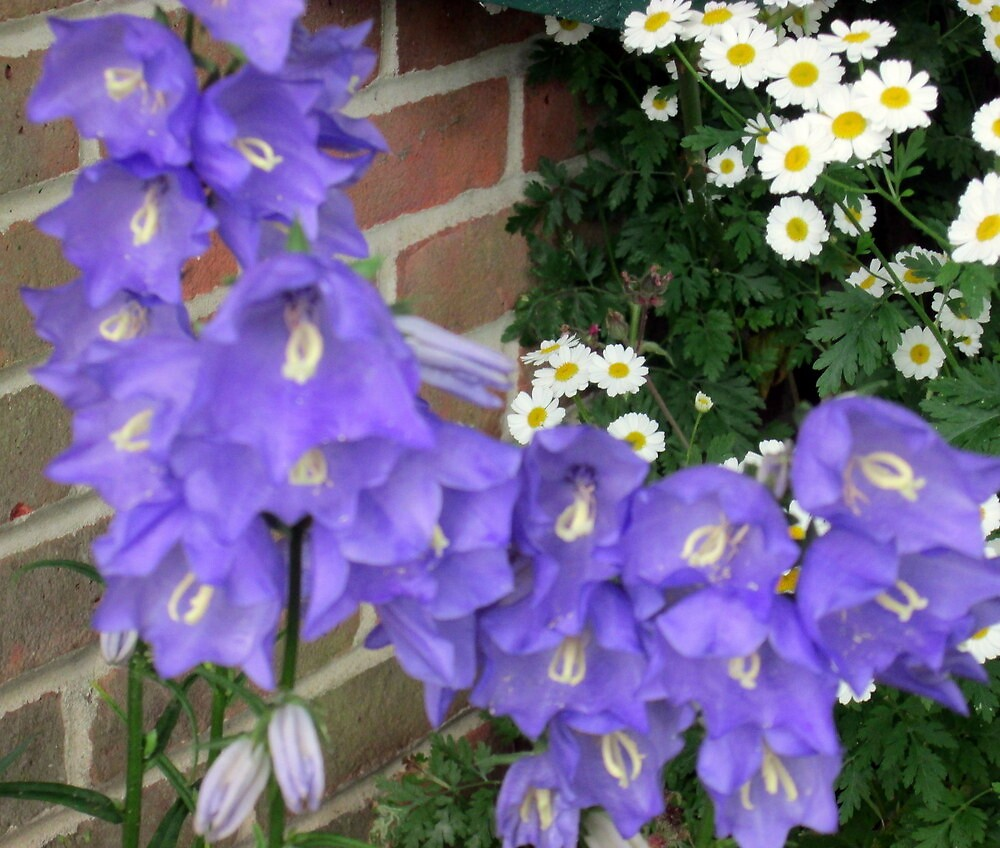 my canterbury bells by margaret hanks