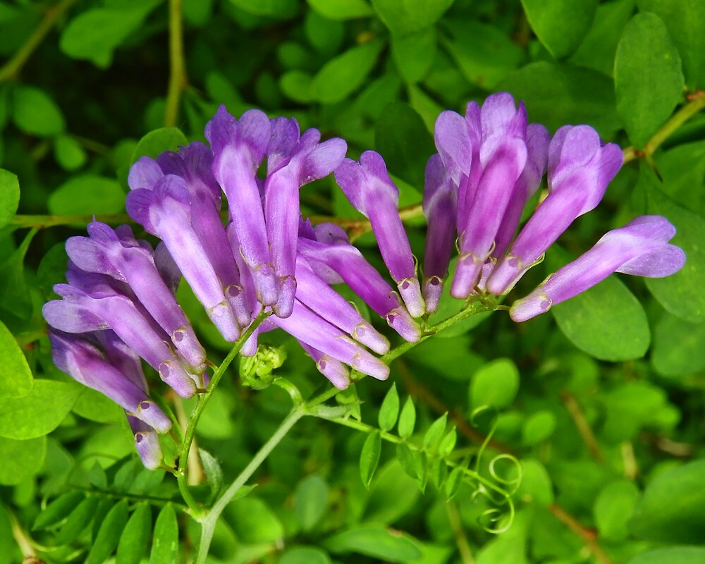 Cow Vetch by PineSinger