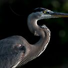 Great Blue Heron Profile by J Jennelle
