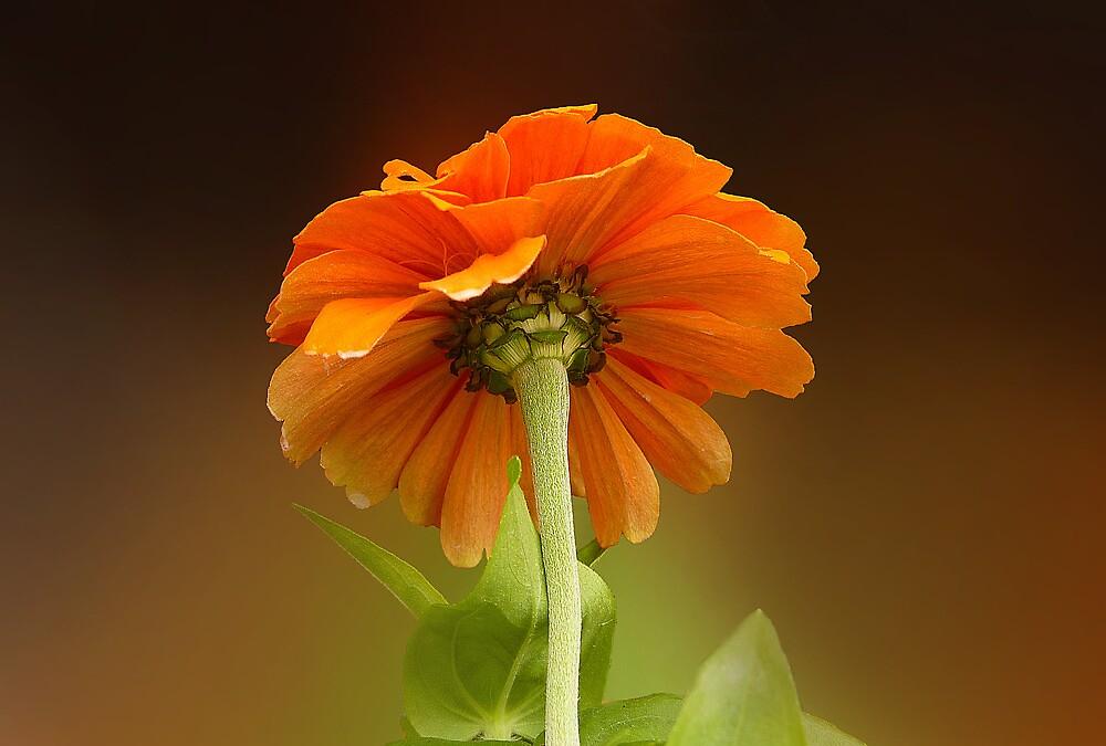 Orange Zinnia by sunshine65
