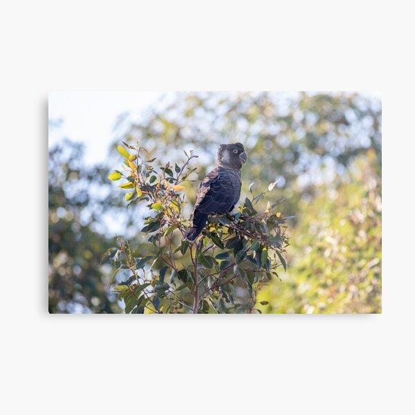 Carnaby's Black Cockatoo in Kalamunda Metal Print