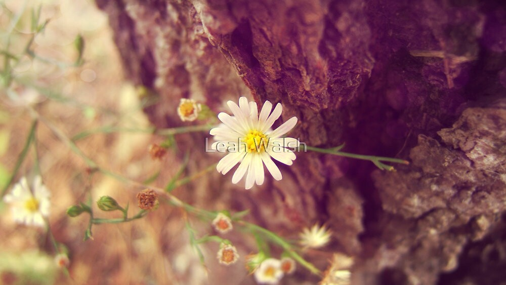 White Aster by Leah Walsh