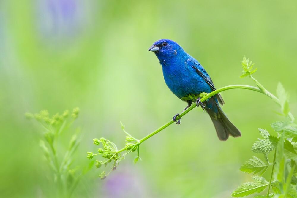Indigo Bunting...Not Feeling Blue! by Daniel Cadieux