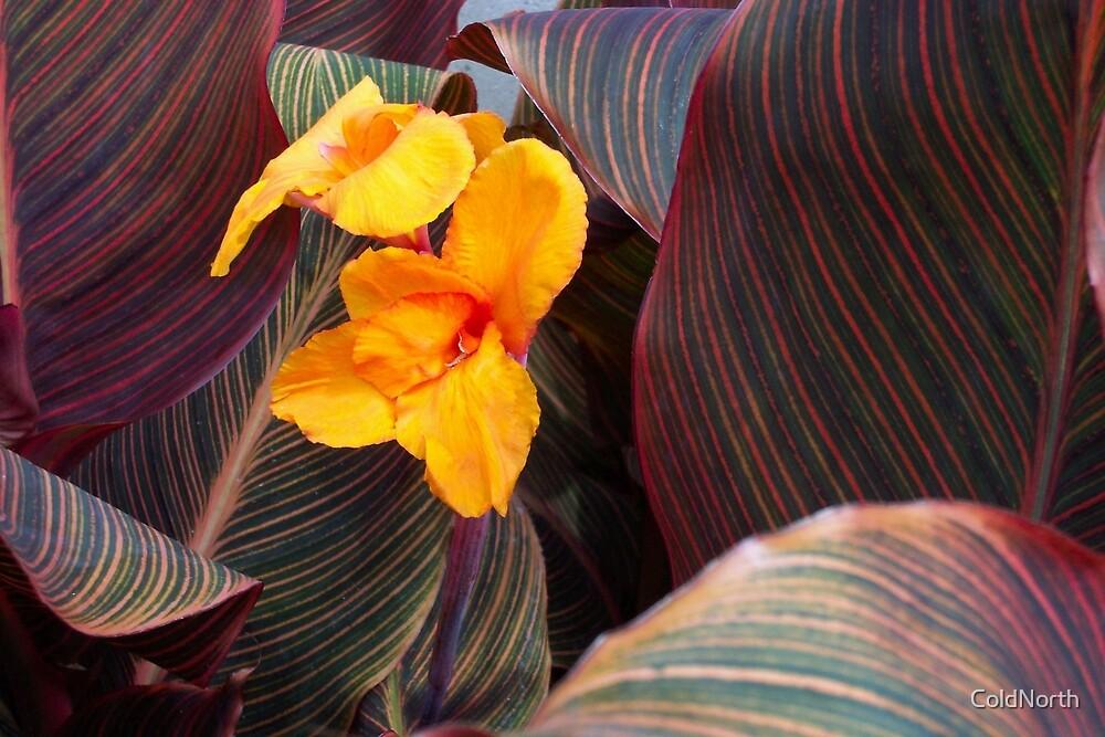 Calla Lillies by ColdNorth