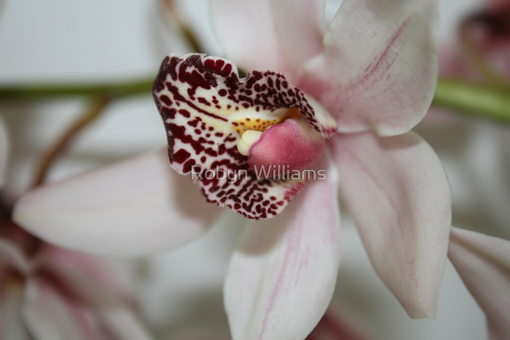 "Day 184 | 365 Day Creative Project  ""Pink Cymbidium"" by Robyn Williams"